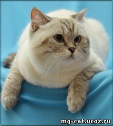 Могилев британские котята